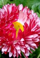 daisy, flower, leaves