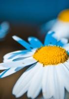 daisy, flower, light