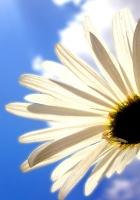 daisy, flower, sky