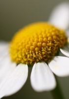 daisy, petals, close-up