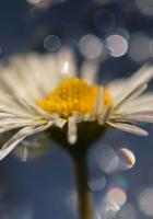 daisy, petals, drops