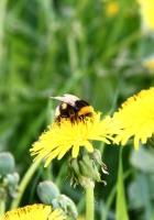 dandelion, flower, bee