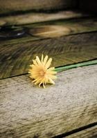 dandelion, flower, board