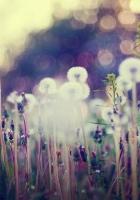 dandelions, field, grass