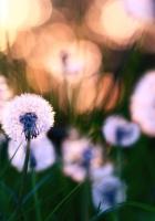 dandelions, grass, field