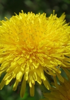 dandelions, sun, insects