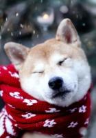 dog, akita inu, scarf