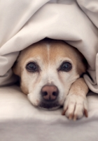 dog, bed, blanket