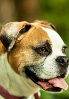 dog, boxer, collar