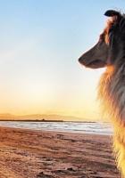 dog, collie, sun