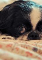 dog, eye, face