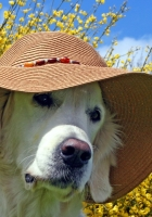 dog, face, hat