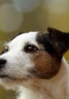 dog, glare, face