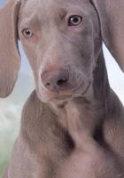 dog, gray, ears