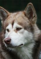 dog, husky, color
