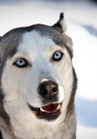 dog, husky, face
