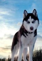 dog, husky, look
