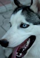 dog, husky, muzzle