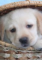 dog, labrador, basket
