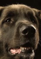 dog, leonberger, muzzle