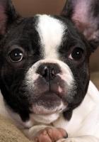dog, muzzle, bulldog
