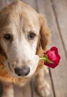 dog, muzzle, flower