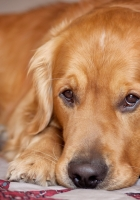 dog, muzzle, lie down