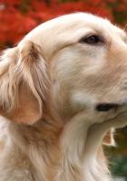 dog, muzzle, red