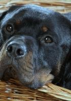 dog, muzzle, rottweiler