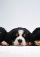 dog, puppies, small