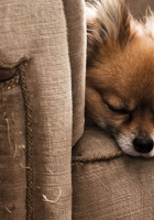 dog, puppy, chair