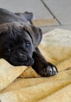dog, puppy, down
