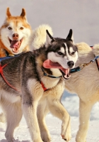 dogs, huskies, sled