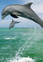 dolphin, jump, water