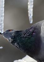dove, ice, bird