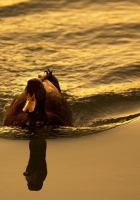 duck, lake, swimming