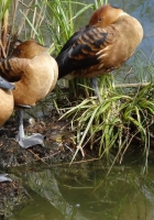 duck, swamp, grass