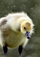 duckling, chick, swan
