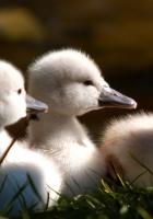 ducks, flock, kids