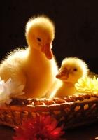 ducks, flowers, basket