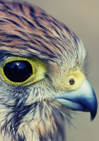 eagle, baby, hawk