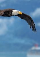 eagle, flying, wings