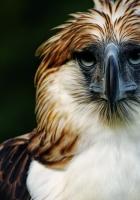 eagle, philippines, bird