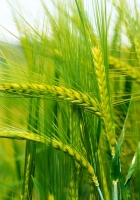 ears of corn, grass, herbs