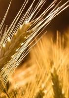 ears of corn, rye, yellow