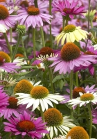 echinacea, color, colorful