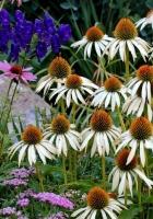 echinacea, flowers, herbs