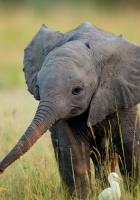 elephant, cub, grass