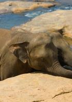 elephant, cub, trunk