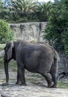 elephant, large, walk